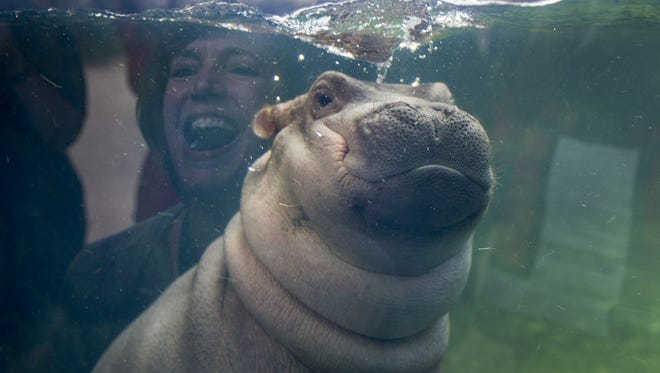 Fiona made a her debut to the media in Hippo Cove at the Cincinnati Zoo and Botanical Gardens.