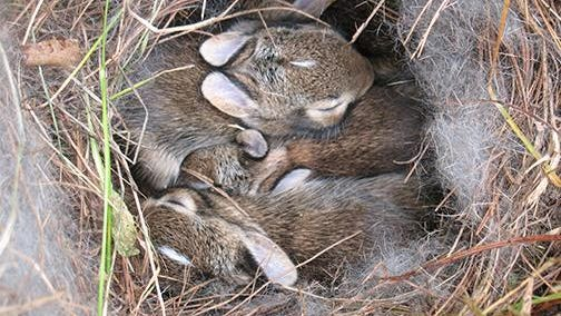 Eastern cottontail females make their nests in the ground and line them with plants and fur from their bellies.