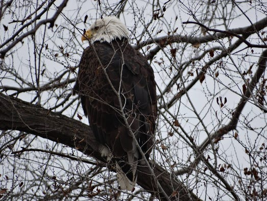 2 canadians free bald eagle from trap