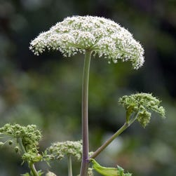 Giant Hogweed, a plant that can cause burns and blindness, found in Virginia