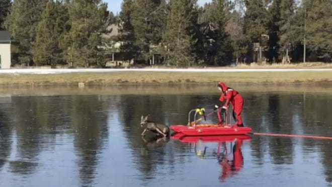 "This Friday, Dec. 8, 2017, image made from a video provided by L4262 Sunriver Professional Firefighters shows firefighter Jeff ""JJ"" Johnston using an ice-rescue sled to gently nudge a deer off a frozen pond in Sunriver. The young deer got its legs underneath it as they reached solid ground and scampered off as Johnston's colleagues applauded."