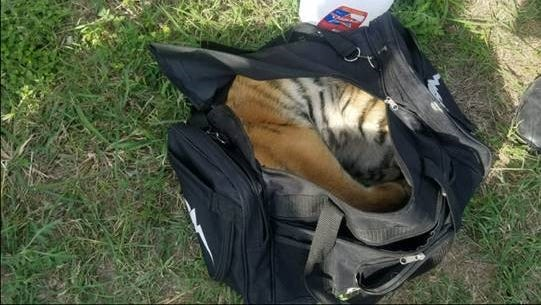 Border Patrol agents in Brownsville found a 4-month-old tiger cub in a duffel bag.