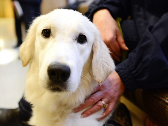 Molly, a service dog in training, attends a hearing