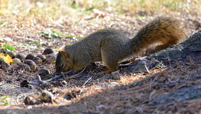 A squirrel fattens for winter, eating nuts in Birchard Park on Thursday afternoon.