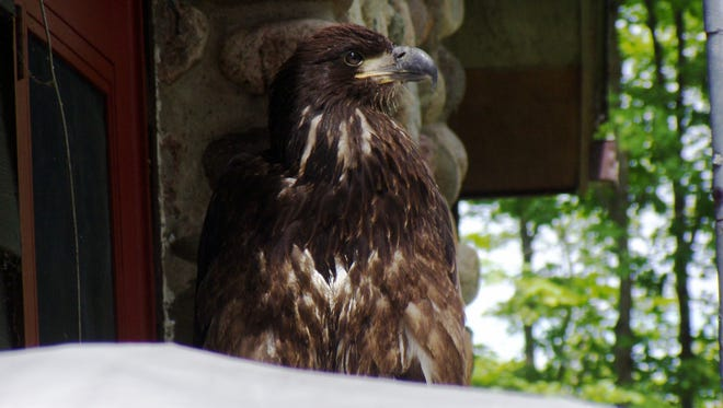Marshall and Delta Goodspeed moved to Oxbow Lake in Vilas County in 1987 after Marshall retired from teaching in the Kohler school system. Here is a picture of an immature bald eagle they took recently as it came to visit their lakeshore home.