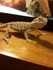 Ava the lizard took second place. She is owned by Owen