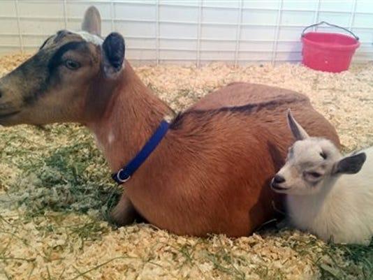 Baby Goat Stolen