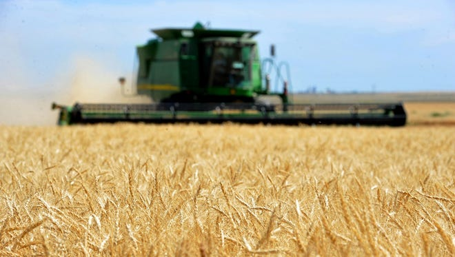 A combine cuts winter wheat on the Lone Prairie Farm in Big Sandy last year.