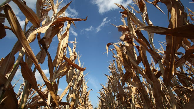 A corn field near Waverly shows signs of drought on July 30, 2012. Drought conditions across the nation resulted in large crop insurance payouts in 2012.