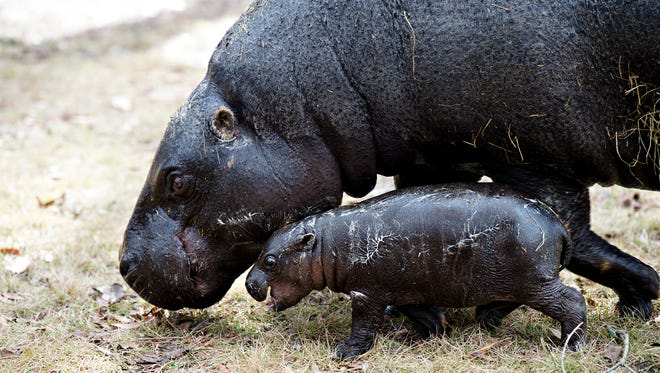 Lola, a pigmy hippopotamus, walks with her new born calf on Thursday, Feb. 8, 2018, at the Montgomery Zoo, Montgomery, Ala. The male calf was born on January 31, 2018 at the Montgomery Zoo.