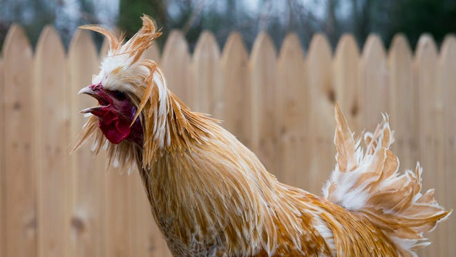 A rooster crows on site at the Paws Discovery Farm Wednesday, March 1 in Mount Laurel.