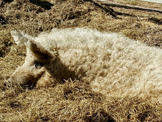 This blonde Mangalitsa heritage pig from Southern Charm Growing Farm in Elmwood has a woolly, almost sheeplike coat.