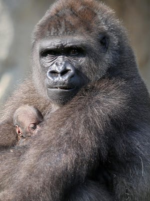Anju holds her baby gorilla during their first foray outdoors at the Cincinnati Zoo & Botanical Garden. The baby, born Aug. 25, has been named Elle.
