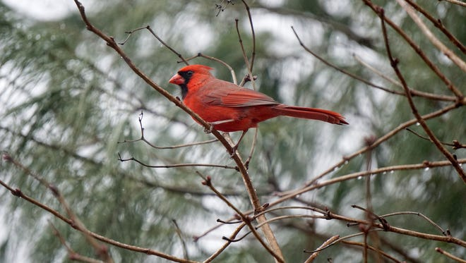 A northern cardinal is perched in a tree at Lowe-Volk Nature Center near Crestline. Cardinals winter over in Ohio, but access to feeders may have expanded their northern range. Jason J. Molyet/Telegraph-Forum