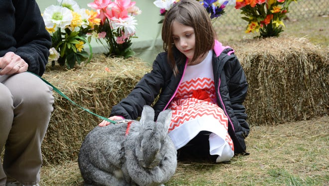 """Cali Blackwell, 6, of Endicott pets the Flemish Giant rabbit """"Foghorn"""" at the Bingahmton Zoo at Ross Park Sunday afternoon during their first event: Extravaganza."""