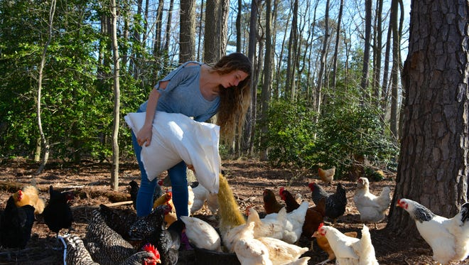 Sussex Central High School senior Mikayla Ockels provides feed for her flock of more than 100 chickens Friday, April 15.