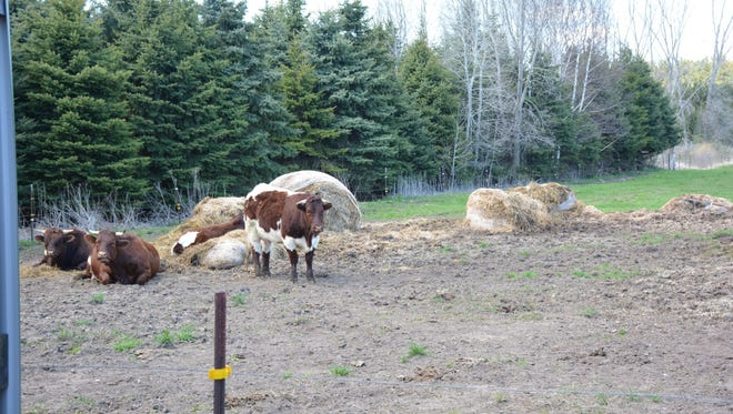 Beef cattle graze next to the Kraynik's greenhouses.