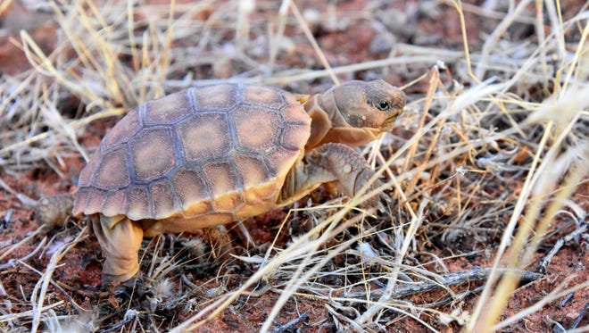 A threatened desert tortoise hatchling is released in September 2016 in the Red Cliffs Desert Reserve. The reserve provides an environment that increases the tortoise's chance of survival.