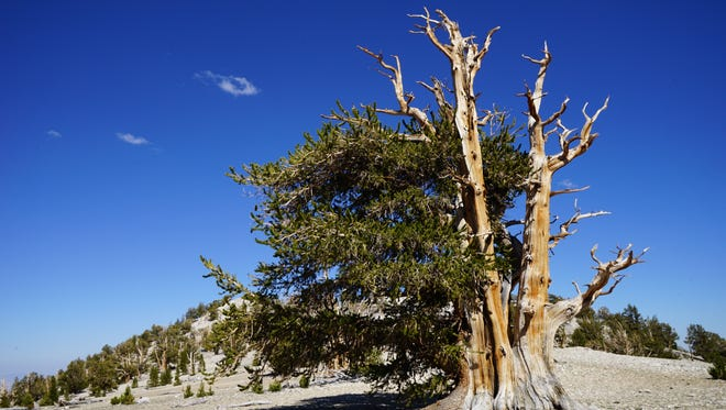 There's power in a bristlecone pine tree that lives for 5,000 years, said horticulturist Bryce Lane.