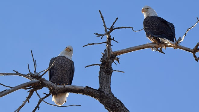 These two bald eagles sit in a tree in west Windsor. Areas of Windsor and Fossil Creek Reservoir Natural Area are great spots to see the bald eagles roosting during winter.