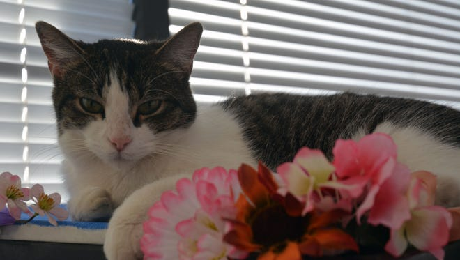 Nancy is one of many cats up for adoption at La Gattara.
