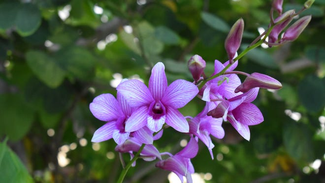 Photo of the week winner Kristen Camper submitted this photo of orchids in bloom in Talofofo.