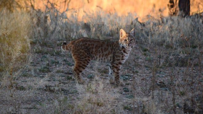 Bobcat near Livermore