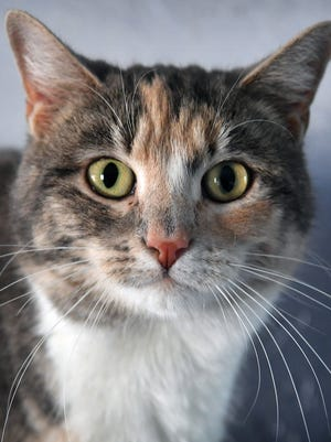 Marbles is a four-year-old, gray calico, female domestic short-haired cat. She has been vaccinated, spayed and microchipped. Marbles is laid back and would do well in a quieter home. She is  available for adoption at the Wichita County Humane Society.