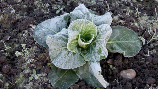 Frosted vegetable