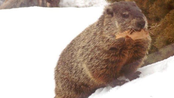Groundhogs, also known as woodchucks, are one of Ohio's true hibernators.