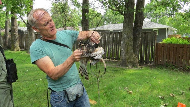 Bob Rosenfield extracts a male Cooper's hawk from a net in which he snared it. His 35 years of research began when he was a graduate student at the University of Wisconsin-Stevens Point.