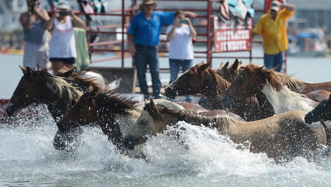 Chincoteague Ponies hit the waters of Assateague Channel as they make the 91st annual Chincoteague Pony Swim on Wednesday, July 27, 2016.
