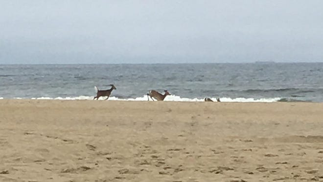 Adam Holloway said he saw three deer run into the ocean near Manasquan Inlet