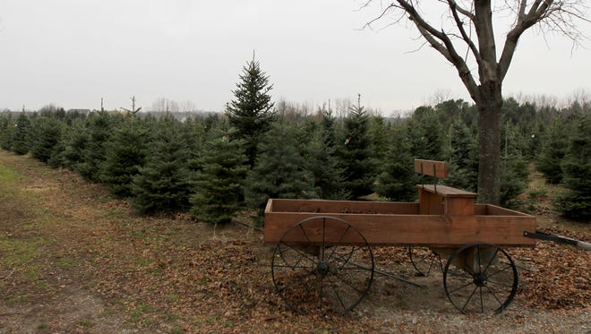 The stock of Christmas trees at some farms in central Michigan is being affected by dry weather. This 2011 photo shows Candy Cane Christmas tree farm in Oxford.
