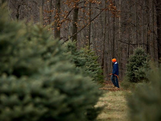 A man holds a saw and walks among rows of pine trees Saturday, November 28, 2015 at Dunsmore Blue Spruce Christmas Tree Farm in Smith's Creek.