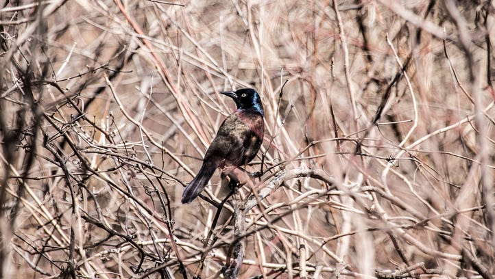 A Common Grackle is seen in the brush at Belle Isle Park in Detroit on April 15, 2015.