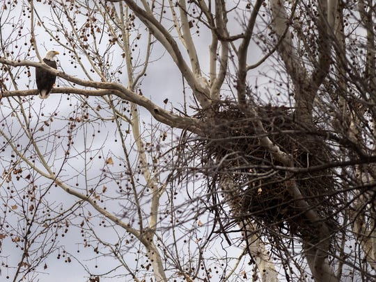 A bald eagle perches by its nest Saturday, Feb. 3,