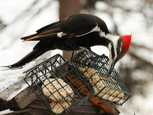 636561103939326060-woodpecker1.jpg