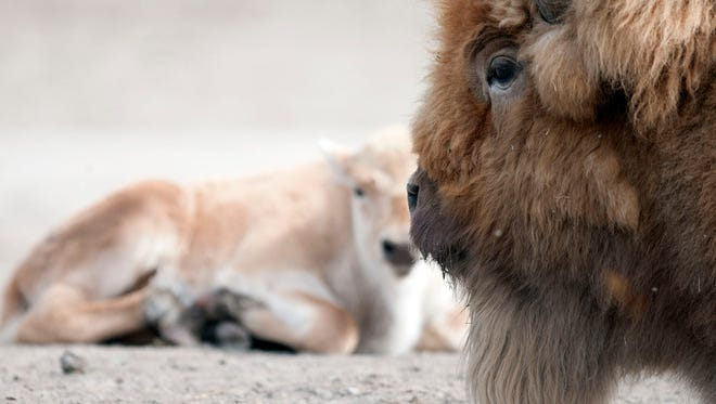 A male white bison named Avalanche watches over one of the two white bison calves he sired last year at African Safari Wildlife Park.