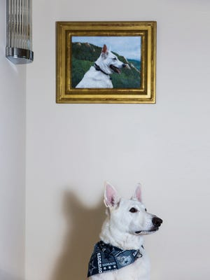 Paul and Suzanne DeBruyne's dog, Cowboy, an 8-year-old White Shepherd, poses for a portrait at his owner's home in Naples on Wednesday, Jan. 4, 2018.