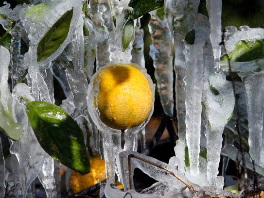 Oranges are encrusted in a cocoon of ice as citrus