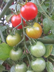 Fresh garden tomatoes are the star of recipes such