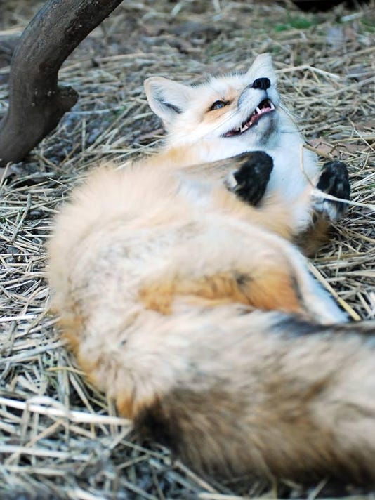Daisy Red Fox