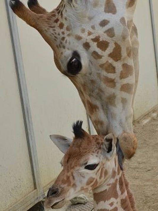 635719823713525832-giraffe