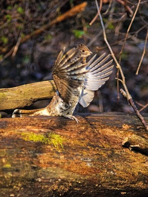 The male grouse defends his territory by 'drumming,' or quickly beating his wings against the air. He usually stands on a log, stone or mound of dirt as a stage for his display.