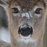 No CWD in NY deer for 11th straight year