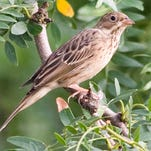 Some French folks consider the ortolan a delicacy.