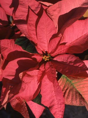 The colorful poinsettia continues to be the most popular plant during the holiday season.  Richard Poffenbaugh photo.
