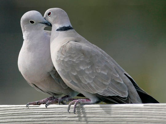 A live pair of European turtle doves cost $260, plus shipping, from Stromberg's Chicks and Game Birds in Pine River, Minnesota.