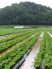 The celery crop at North River Farms was saturated